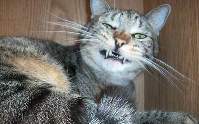 sneeze treatment sneezing in cats causes symptoms and treatment cat world