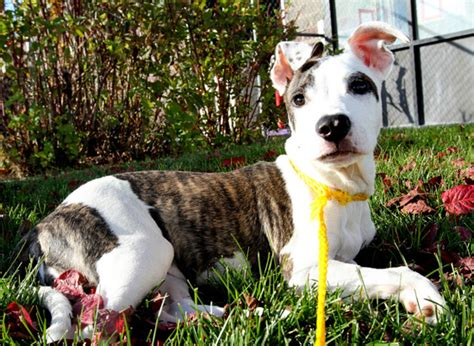 pitbull with rottweiler markings names for pit bull mixes stubbydog