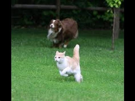 chasing cat cat jumps fence to get away from doovi