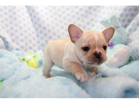 affordable bulldog puppies affordable bulldog puppies animals atlanta announcement 24475