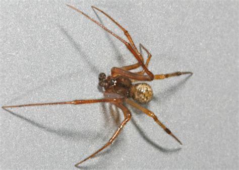 california house spiders california house spiders common house spider parasteatoda tepidariorum