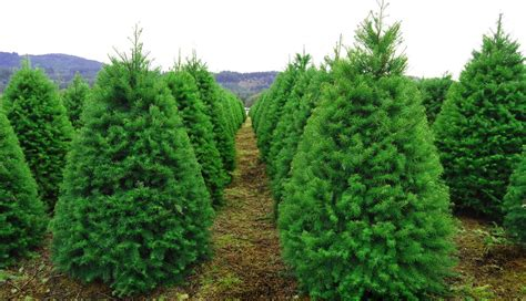 cobblestone tree farm pa where to cut your own tree near philly philadelphia magazine