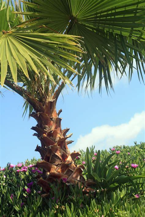 fan palm care fan palm tree care