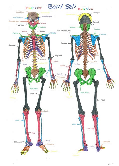 skeletal system pin skeletal system definition of by the free on