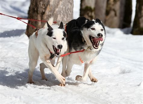 how far can dogs run all about huskies 8 facts you may not known iheartdogs