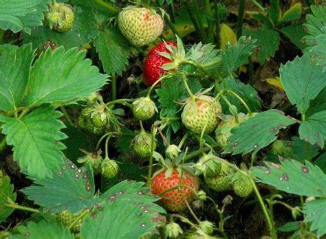 Wann Pflanze Ich Erdbeeren 4534 by Wann Erdbeeren Pflanzen Cool Erdbeeren Pflanzen With Wann