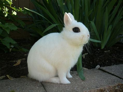 Nd Hotot Nd hotot rabbit breed adopt a rabbit