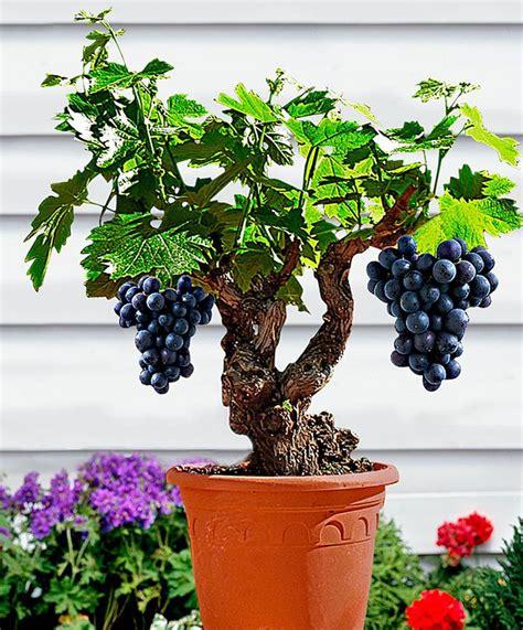 Cabernet Grapevine Bonsai It Or It by Miniature Grape Vine Seeds Patio Syrah Vitis Vinifera