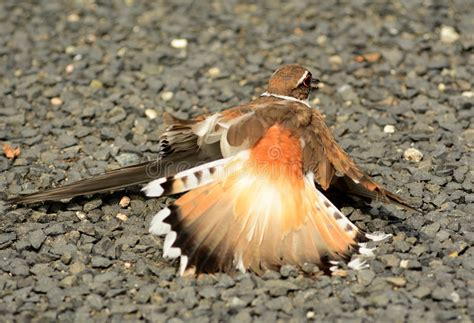 broken wing borrowed time killdeer broken wing stock photo image of rings