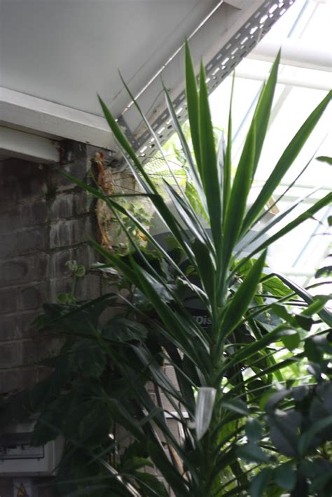 buy house plants now yucca 2 trunks bakker com easy house plant yucca home design plan