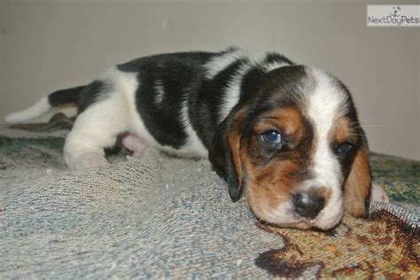 miniature basset hound puppies for sale in basset hound puppy for sale near des moines iowa 675fb97d d7c1