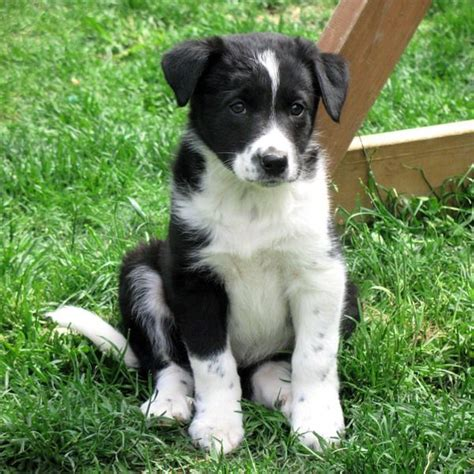 border collie mix puppies for sale 17 best ideas about collie puppies for sale on collies for sale border