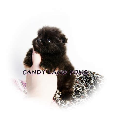 pomeranian in houston pomeranian puppies for sale in houston teddy poms picture breeds picture