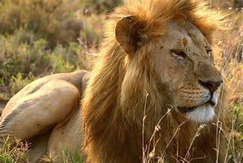 imagenes de animales leon los 10 animales mas salvajes del mundo
