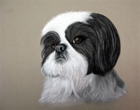 shih tzu clubs shih tzu images shih tzu wallpaper and background photos 13713345