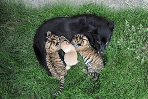 puppy of the day photos of the day fans spill feeding tiger cubs