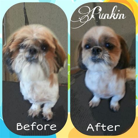 shih tzu after grooming grooming photos coquitlam aviva dogspaw