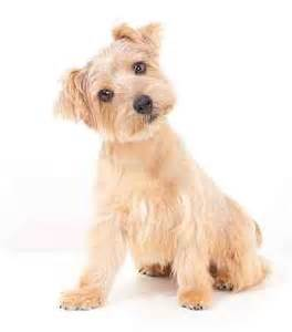 Light Shedding Dogs Norfolk Terrier Dog Breed Small Dog Petmania