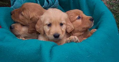 golden retriever mn breeders minnesota golden retriever breeder golden retriever