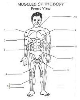 Muscular System Worksheet human anatomy muscles worksheets images frompo