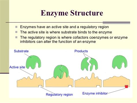 enzyme diagram 06 enzymes
