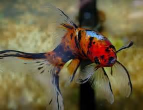 Types of Goldfish http://goldfish2care4.com/goldfish types/i