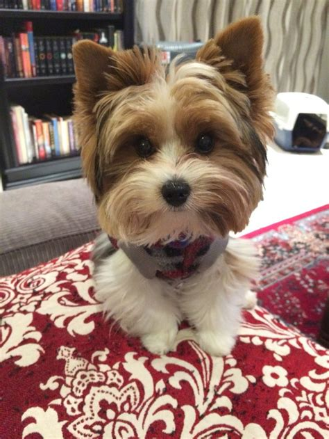 biewer terrier haircuts 1000 images about yorkie on pinterest