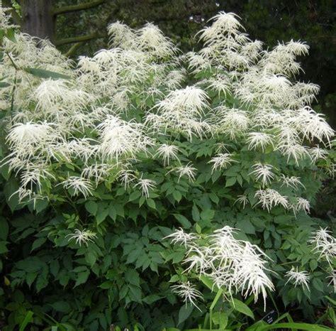 4 6foot tall goat s beard shade plant aruncus dioicus hardy perennial flowers shade plants