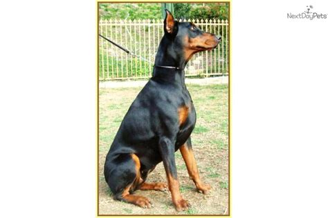 king doberman puppies for sale puppies for sale from the king of black shadow dobermans member since november 2007