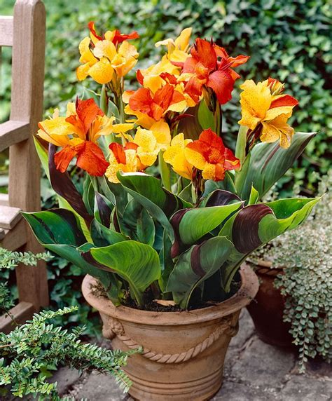 canna indica in vaso canna cleopatra specials from spalding bulb flowers