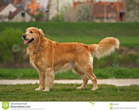 golden retriever pet golden retriever stock photography image 683752