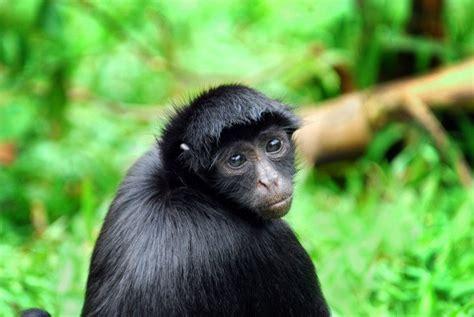black monkey animals river wildlife rainforest