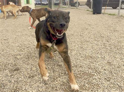 lucas county warden kill rate again in 2015 at lucas co canine agency the blade