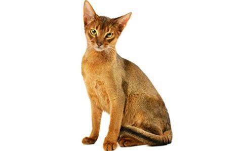 cat breed top 16 kid friendly cat breeds cattime