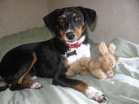 beagle and rottweiler mix reagle rottweiler x beagle mix info temperament puppies pictures
