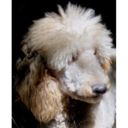 free dogs in ct elite standard poodle poodle standard breeder in connecticut