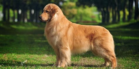 different types of golden retrievers golden retriever puppies for sale breeders weight