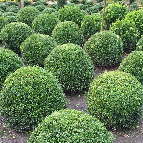 schnellwachsende hecke als sichtschutz 44 50 st 252 ck ligustrum 40 60 cm topf heckenpflanze liguster
