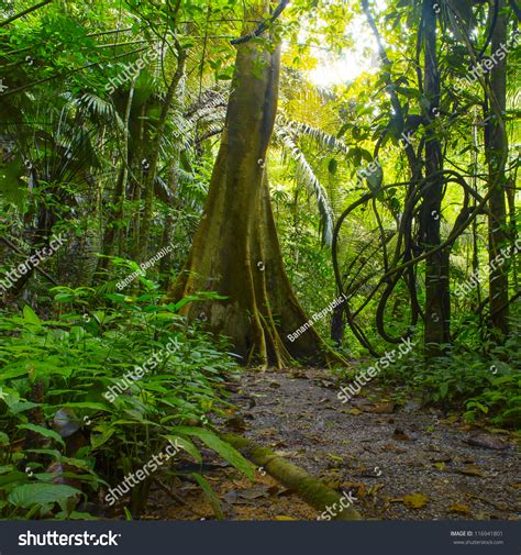forest jungle background tropical rain forest stock photo 116941801 shutterstock