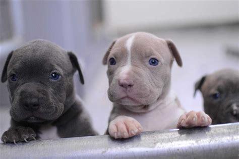 blue and white pitbull puppies mastiff info catahoula leopard mixes catahoula bull terrier cross pitbull