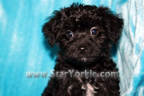 yorkie poo newborn puppies teacup yorkie puppies for free puppies for a home breeds picture