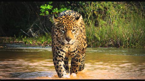 imagenes de animales salvajes en 4k trailer colombia magia salvaje youtube