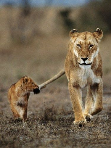 lion cub holding lioness tail   mouth luvbat
