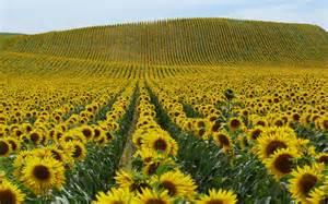 Natuur landschappen bloemen gebieden zonnebloemen plantkunde heuvels