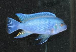 Freshwater Fish For sale   Reef Central Online Community