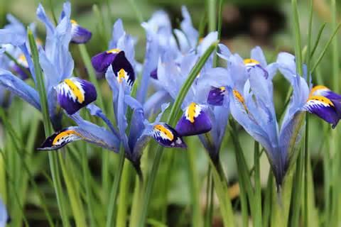 Vase Of Irises Spring Flowering Bulbs Gardenpostnz