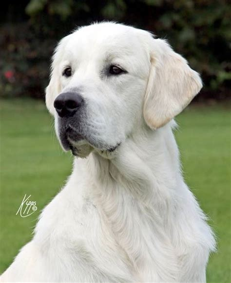 xanthos golden retrievers int chion xanthos mondriaan sgwc xanthos golden retrievers
