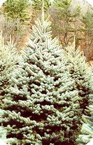 merry christmas real christmas trees christmas tradition
