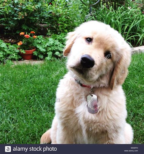 looking for a golden retriever puppy to adopt looking for a golden retriever assistedlivingcares