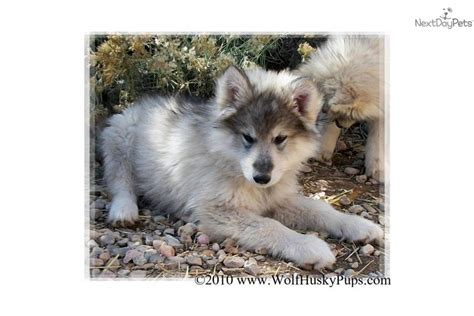 wolf hybrid puppies for sale wolf dogs hybrid puppies for sale in california oregon and washington breeds picture